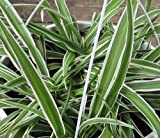 Reverse Variegated Spider Plant - Easy to Grow/Cleans The Air - 4' Pot