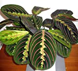 Red Prayer Plant - Maranta - Easy to Grow House Plant - 4' Hanging pot -/from jmbamboo